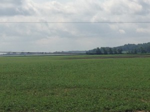 Here is a shot of the Cox farm soybeans.  At the far end of the field, you can make out the 12-15 acres that were killed in the last flood event.  Even so, the rest of the field is great.