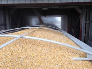 Corn drops into the truck this morning from the #6 load-out bin