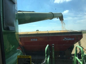 Unlading on-the-go into the Demco 1350 grain cart